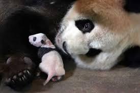 fotos de osos panda con su madre