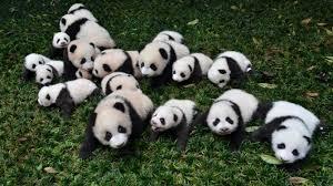 fotos de osos panda en familia