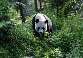 fotos de osos panda en su habitad natural