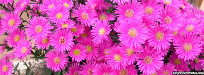 imagenes de flores para portada moradas