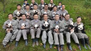 fotos de osos panda en su habitad