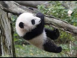 fotos de osos panda recien nacidos